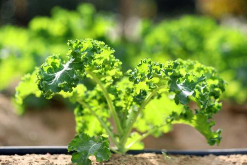 Other Brassica
