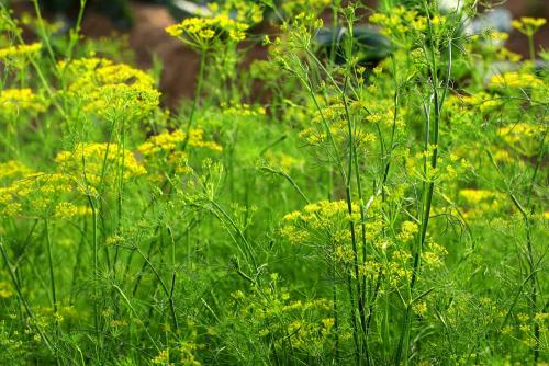 Dill Leaves